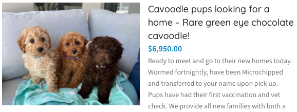 cavoodles for sale in sydney