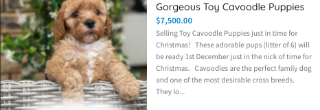 https://petsforhomes.com.au/ad/gorgeous-toy-cavoodle-puppies/