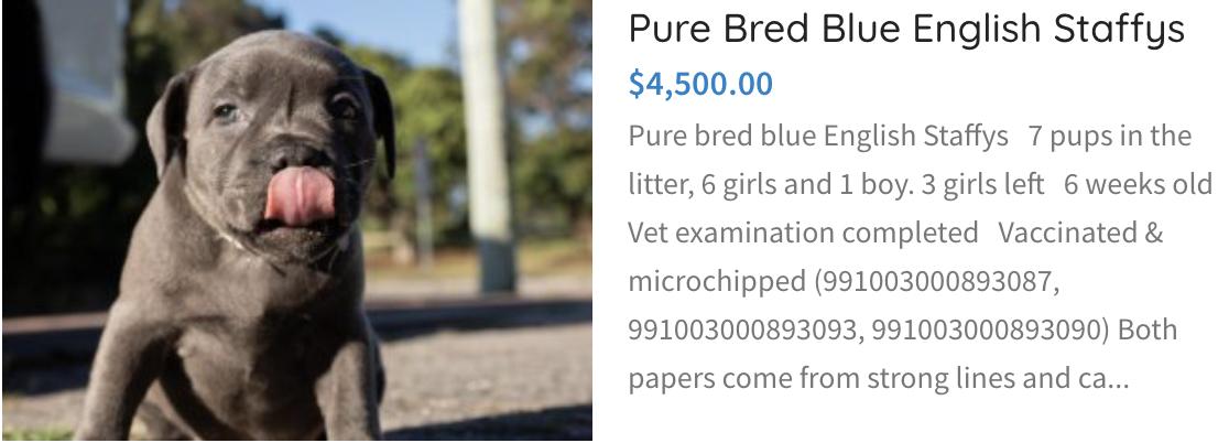 Pure Bred Blue English Staffy