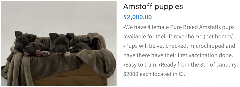 Amstaff Puppies