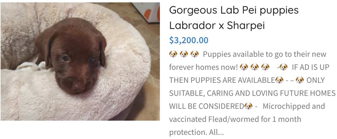 Lab Pei Puppies Labrador x Sharpei