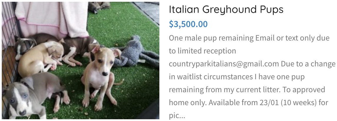 Italian Greyhound Pups