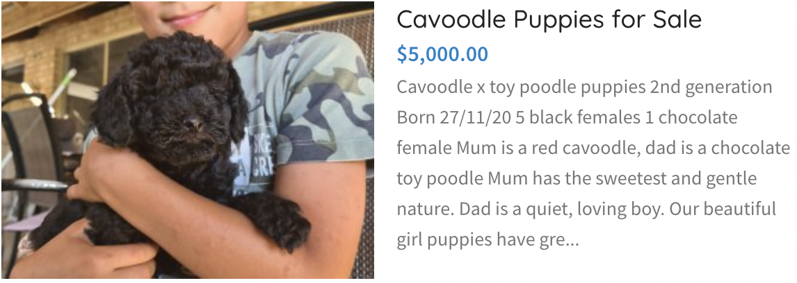 Cavoodle Puppies For Sale
