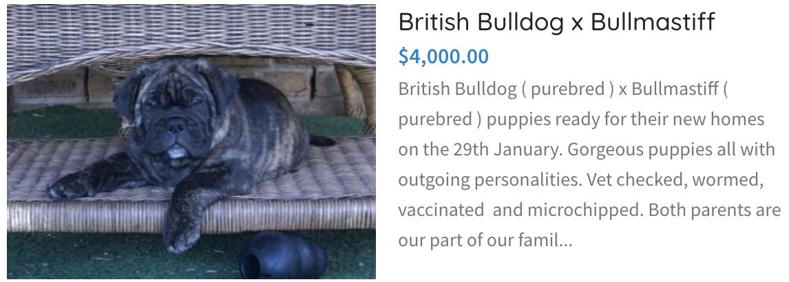British Bulldog x Bullmastiff