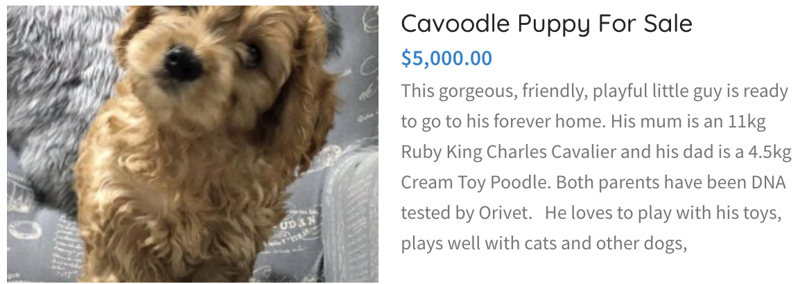 cavoodle puppy for sale