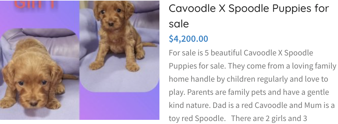 Cavoodle X Spoodle Puppies for sale