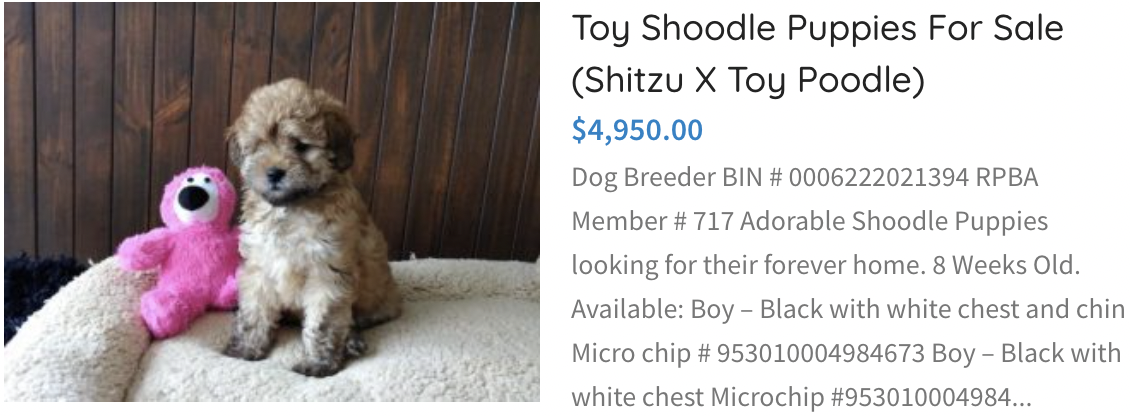 Toy Shoodle Puppies for sale (Shitzu x toy poodle)