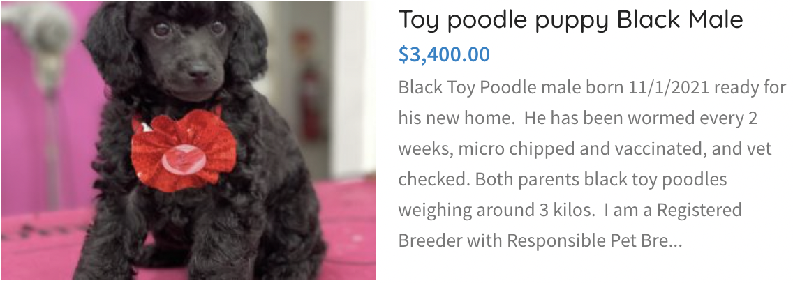 Toy Poodle Puppy Black Male