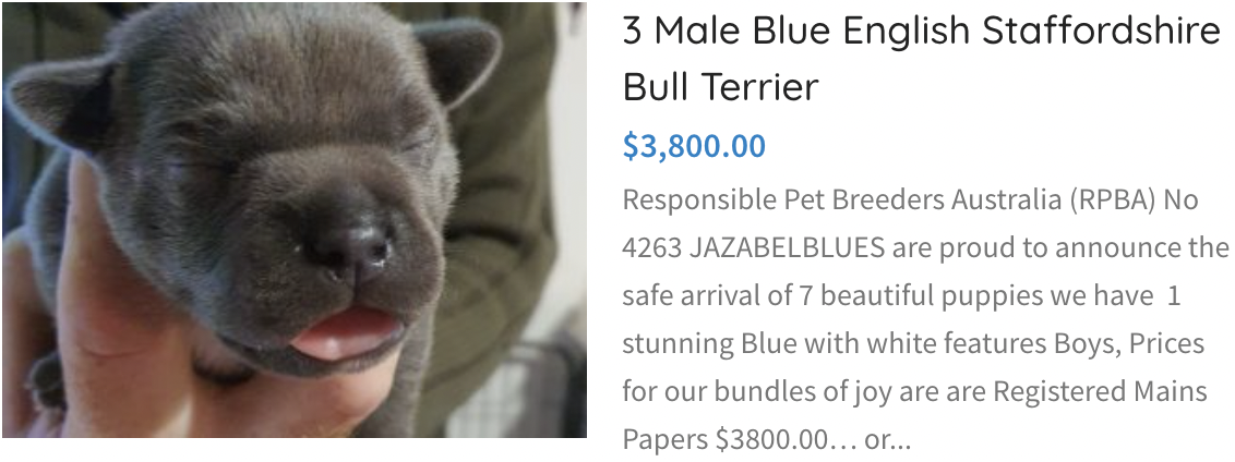 Male Blue English Staffordshire Bull Terrier