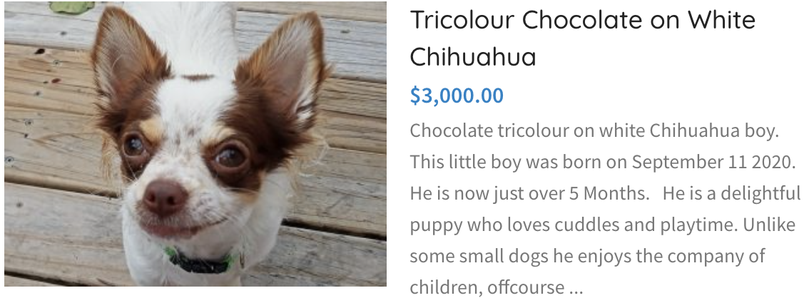 Tricolour Chocolate on White Chihuahua