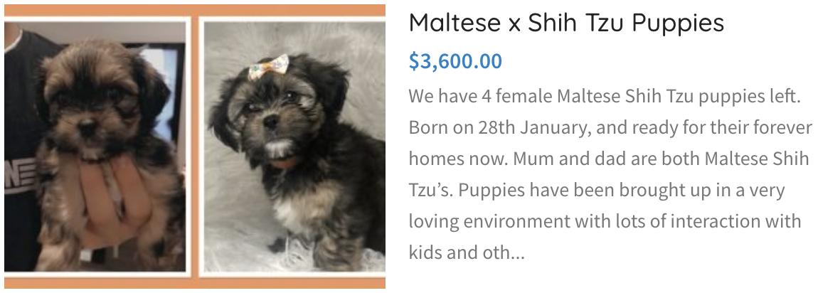 Maltese x shit tzu puppies
