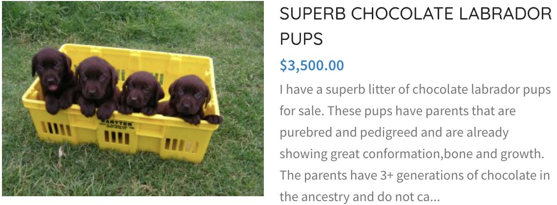 superb chocolate labrador pups
