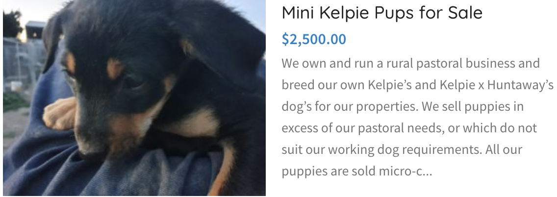 mini kelpie pups for sale
